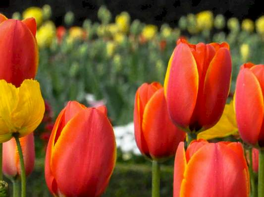 Rote Tulpen Wiese